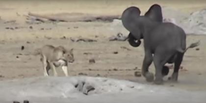 Схватка слонёнка с тремя львицами попала на видео