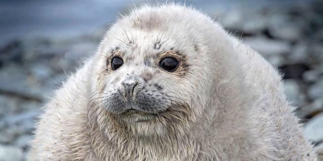 На Камчатке нашли самого толстого тюленёнка и назвали его Жруном