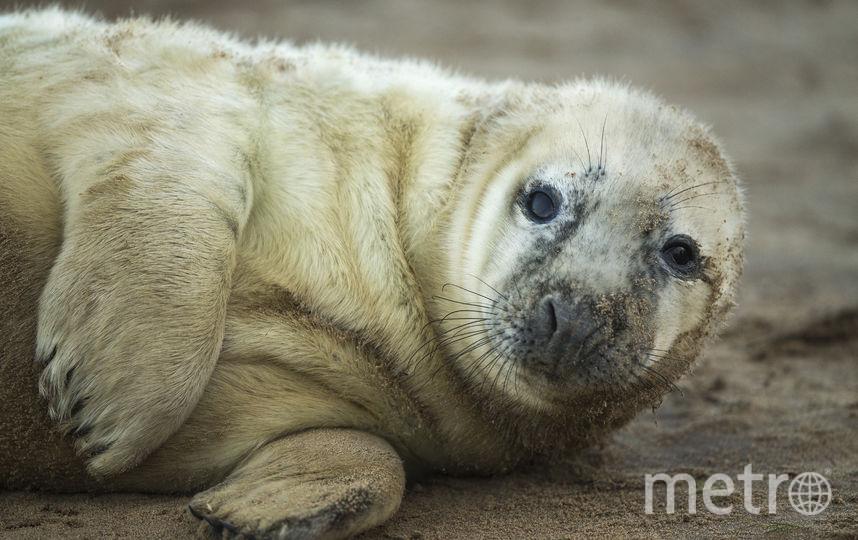 Бельки - детёныши тюленей. Фото Getty