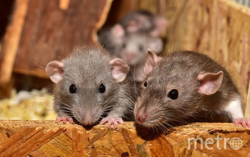 Биологи пересадили мышам крошечный человеческий мозг. Фото Pixabay