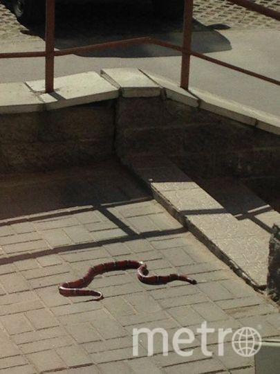 О дальнейшей судьбе змеи с Коллонтай, которую забрали сотрудники МЧС, пока не сообщается. Фото https://vk.com/spb_today?z=photo-68471405_456550485%2Fwall-68471405_8767149, vk.com