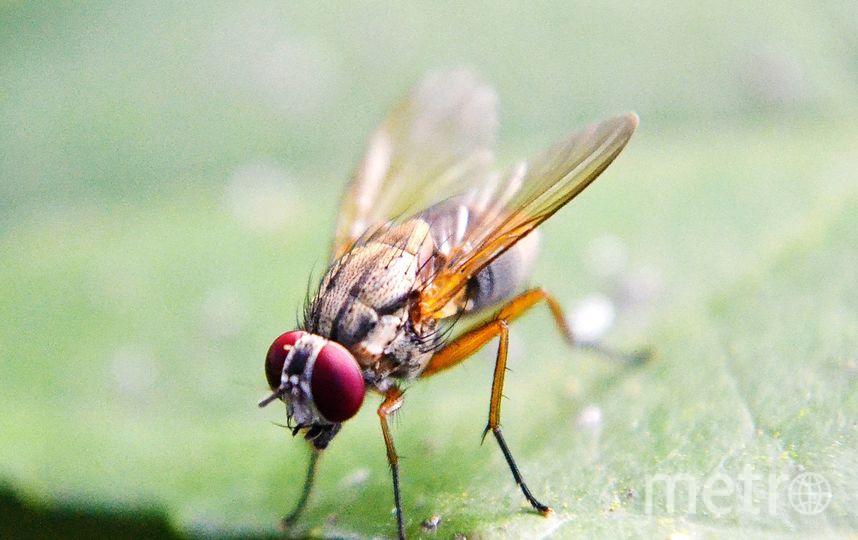 Плодовая муха. Фото https://pixabay.com/