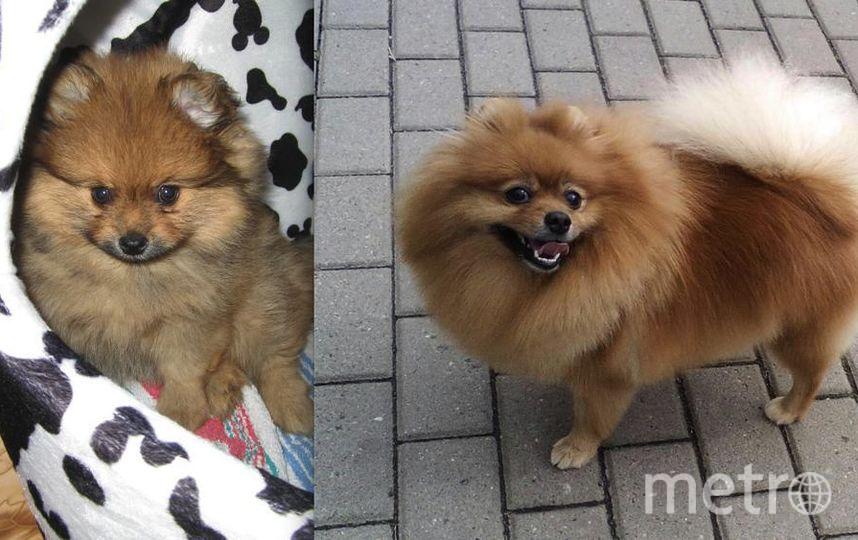 Собаку зовут Красавица Эллис. Просто - Элька. 2 месяца и 4 года.В 4 года позирует на камеру после процедур в салоне красоты. Хозяйка - Екатерина..