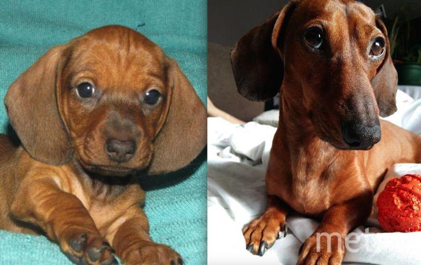 Это Джейсон, в 2 месяца и сейчас в 4 года. Спокойный,скромный и еще он собака - улыбака.. Фото Власова Ирина.