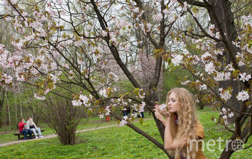 Москвичка наслаждается цветением сакуры. Фото Василий Кузьмичёнок
