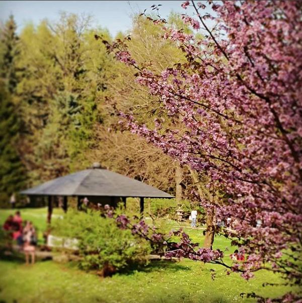 Сакура в Главном ботаническом саду. Фото Скриншот instagram.com/votarknop/?hl=ru