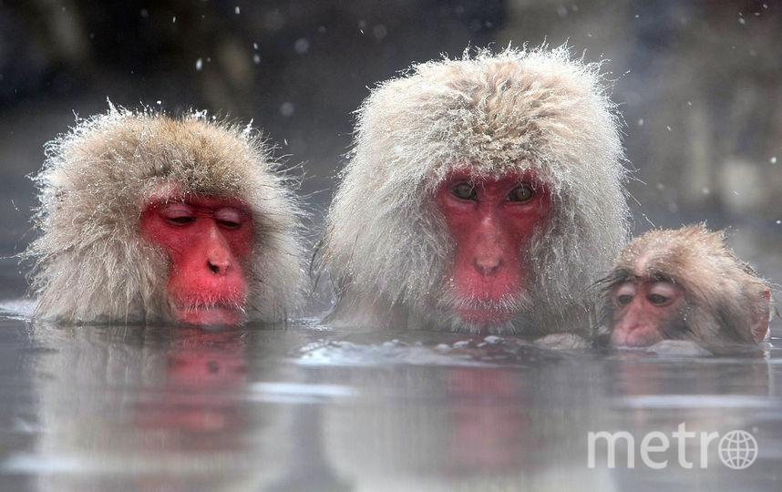 Японская макака, или как ее еще называют, снежная обезьяна — единственный представитель макак, которые могут жить в таких суровых климатических условиях. Их родина — японский остров Якусима, площадь которого составляет всего 500 кв. км. Фото Getty