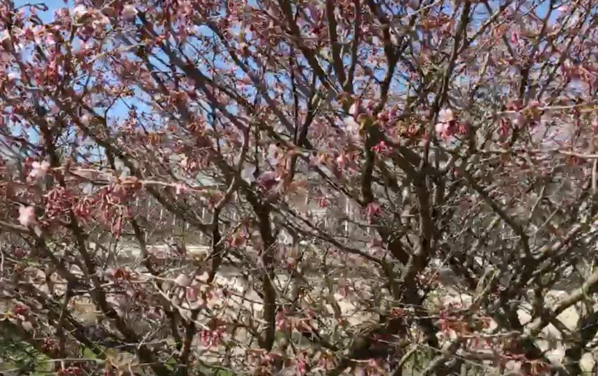 Сакура в Ботаническом саду. Фото vk.com/botsad_spb, vk.com