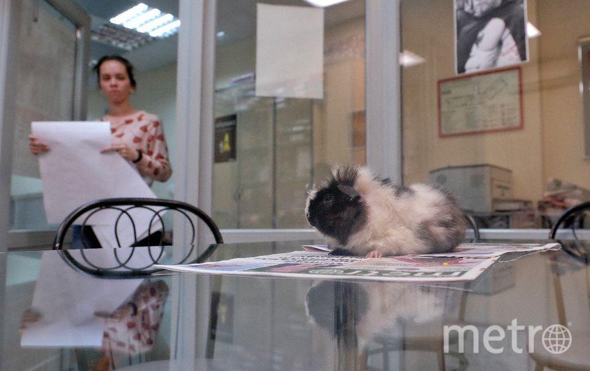 "В редакции Metro-Петербург появился новый сотрудник. Фото Алена Бобрович, ""Metro"""