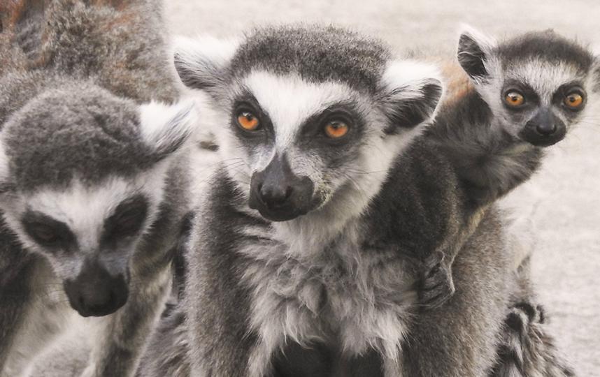 В Московском зоопарке родились детёныши кошачьего лемура. Фото mos.ru