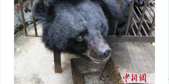 Су Му думал, что купил щенка тибетского мастифа.