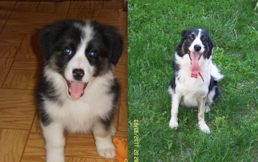 Это наша собака Джуля.Родилась на стройке в Тушино,умница и красавица,но с характером,всегда делает так, как она хочет.Мы ее очень любим. На первом фото 2 месяца, на втором снимке 2 года. Фото Марина