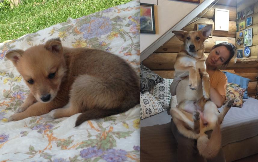 Это Нюра, ей был месяц (на первом снимке) когда мы нашли ее в лесу. Думали, что это будет небольшая собачка, а выросла вот такая красивая женщина (второй снимок). В доме мы зовем ее ласково «КОНЬ». Фото Елизавета