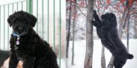 Как милые щенки превращаются в медведей: москвичи о своих питомцах