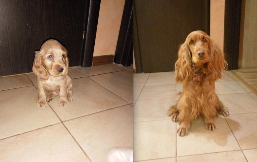 Это наша любимая собака Ретти сейчас ей полтора года, а вот такой она была когда ей было полтора месяца. Что выросло, то выросло. Фото Ирина