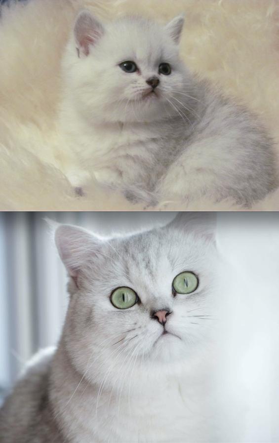 У нас в семье есть любимый кот Чарли. Мы его взяли через 4 месяца после смерти любимой персидской кошки Матильды, которая жила с нами 12 лет и боролась с раком 8 месяцев. Я поклялась, что не привяжусь больше ни к одному животному, слишком тяжело расставаться с ними. Но было так пусто в нашей квартире! Мы взяли маленького британца Чарлика. Он очень красив, спокоен, независим, ненавязчив. Его шёрстка густая и пушистая, все хотят его потискать, но, увы, сидеть на руках он не любит. Фото Светлана