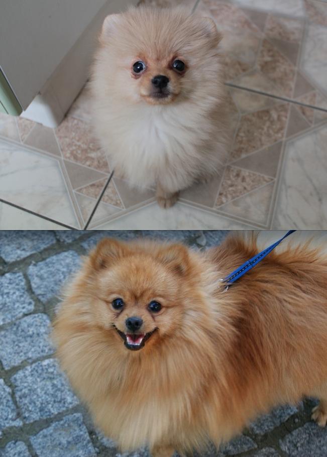 Это наш любимчик Бэрри - собака-улыбака! Очень добрый и самодостаточный пёс. Сейчас ему 7 лет. На фото 3 мес и 6,5 лет. Фото Елена