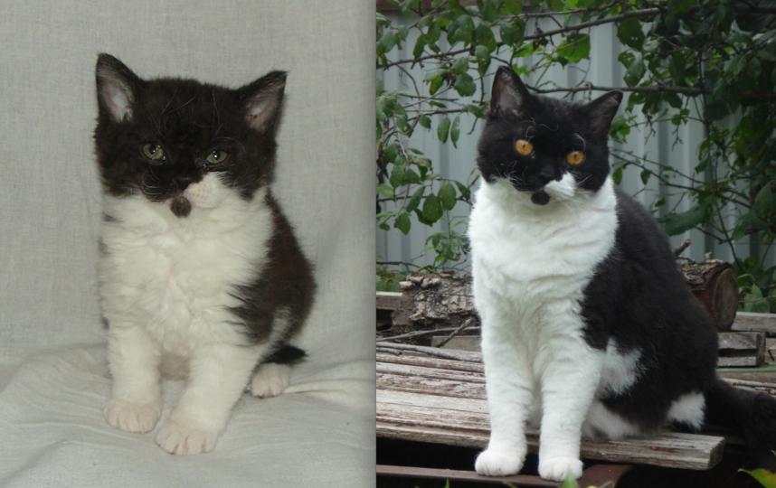 Это Наша любимая кошечка Базюля породы селкирк-рекс,на фото маленькой Базюле всего 1,5 месяца,а в апреле уже исполнится 7 лет. Фото Наталия
