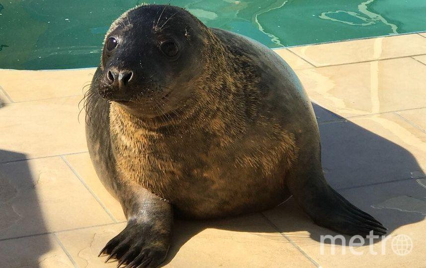 Спасённый тюлень Гоглик подрос иуплыл изПетербурга