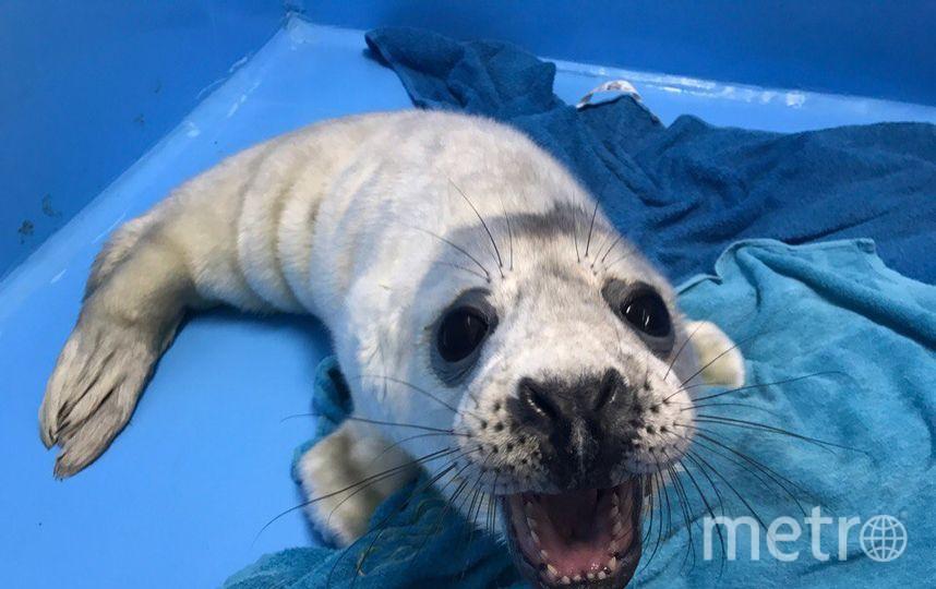 Спасенный тюлень Гоглик вернулся вморе