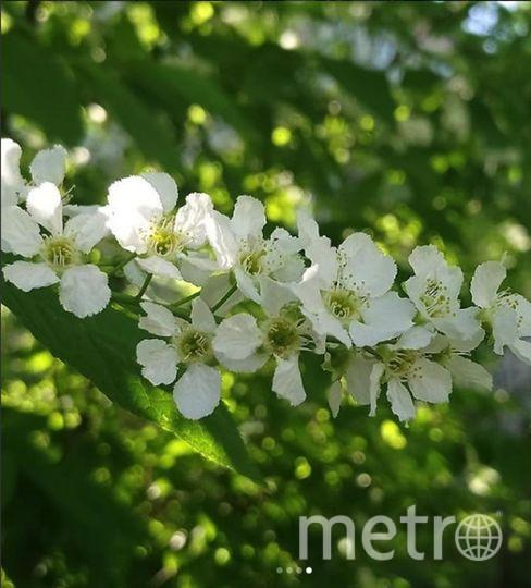 Черемуха цветет и жара стоит. Приметы не работают. Фото Instagram
