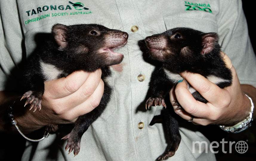 Сумчатые мыши могут пропасть через чрезмерный секс