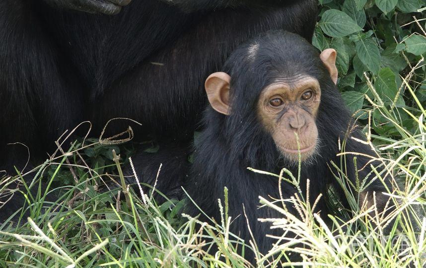 Шимпанзе. Фото Pixabay