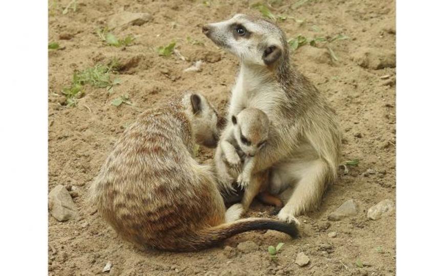 Детёнышу уже три недели. Фото пресс-служба Московского зоопарка