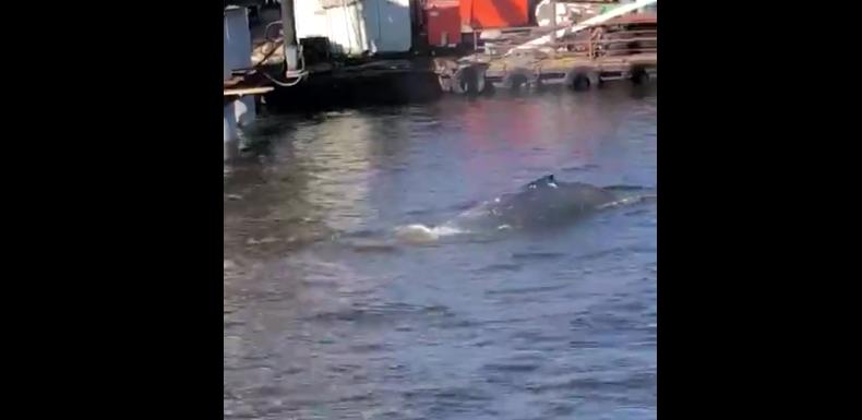 В Ленобласти в заливе плавает кит: очевидцы сняли видео. Фото скриншот видео vk.com/sealrescue