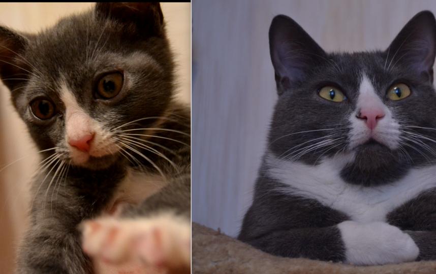 Нашего важного котейку зовут Шерлок. Он настоящий следопыт! Шерлок любит все проверять и исследовать. А еще он очень ласковый и добрый кот! Любить сидеть на руках и мурлыкать, но чтобы ему обязательно чесали животик. На первом фото ему 2 месяца, а на втором 1 год и 4 месяца.. Фото Мороз Алёна