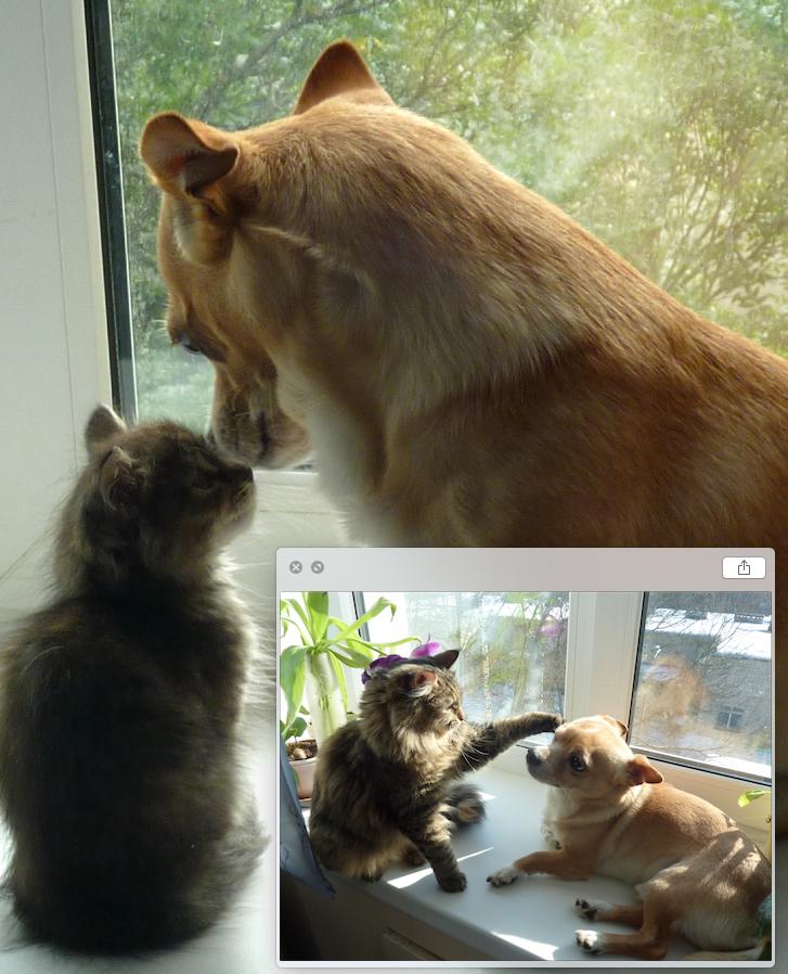 Вот такого крошечного котенка дочка нашла на улице. Решили, что чихуа-хуа Бруно в компании будет веселее и оставили себе. Назвали малышку Ася. На фото ей 1-2 месяца. Прошло время, Ася выросла. На следующем фото ей уже больше года. Фото Богачева Надежда