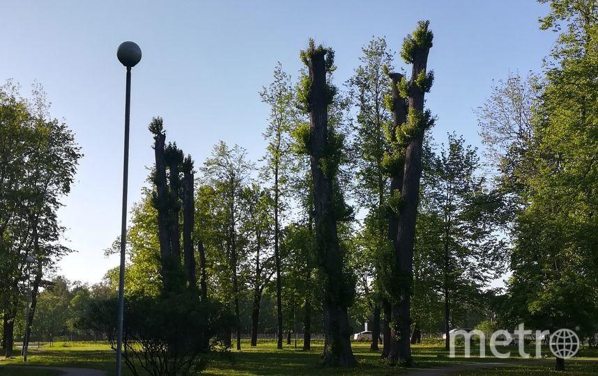 Петербуржцы создали карту обрезки крон деревьев. Фото Красивый Петербург