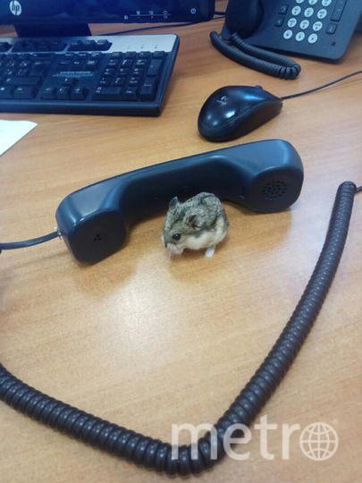 Джунгарский хомячок Степанида или просто Стеша. Фото Сотрудницы  энергетической компании