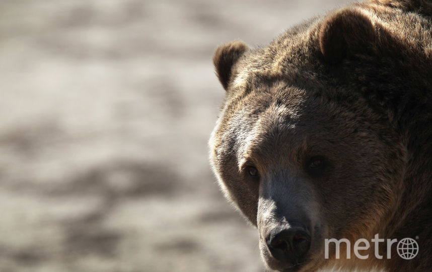 Медведь гризли. Фото Getty