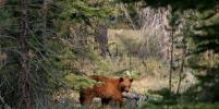 Жителей Омска предупредили о нашествии медведей