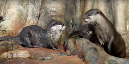 Видео с выдрёнком из петербургского океанариума очаровало Сеть