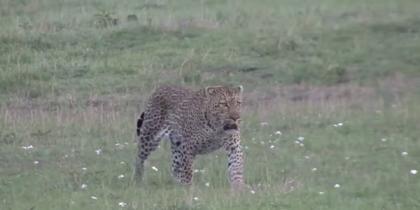 Схватка двух леопардов за добычу попала на видео