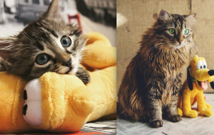 Любимец всей семьи кот Ларри в возрасте двух месяцев и трёх лет. Изрядно вымахал, посветлел носом и глазами, утратил котёночий восторг и обрёл мудрость вытаскивать булки из хлебницы. Фото Юлия Дрофф