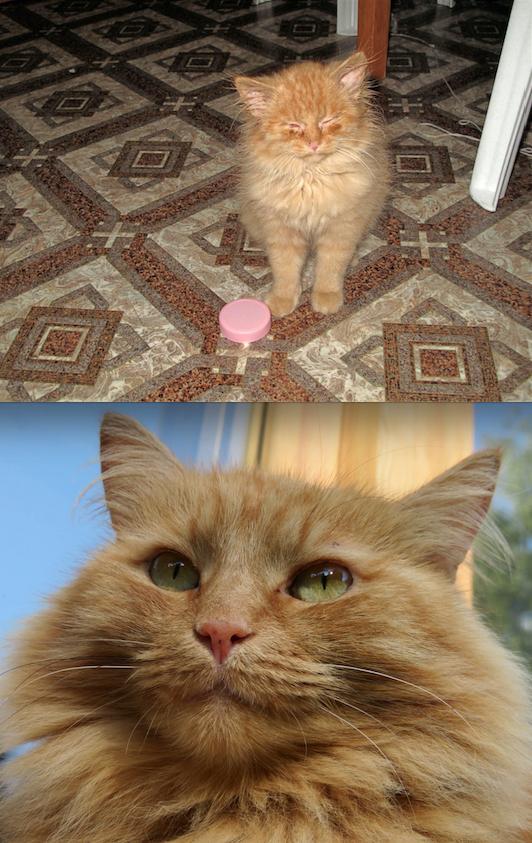 Подобрали эту кошку на улице – привезла нам ее одна знакомая из Московской области. Причем везла мальчика, а оказалась … девочка. Котенок был абсолютно дикий, с кучей болезней. Вот на 1-м фото ей около 2,5 месяцев. Тогда глазки совсем не открывались… Но к счастью, вылечили, вырастили и воспитали. Фото Ирина Николаева