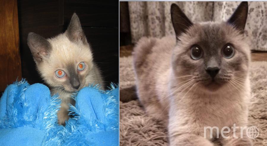 а фото любимец нашей семьи- тайский кот Семур или по-домашнему просто Сёма. 1,5 месячным котёнком мне его подарила моя бывшая начальница. Из непослушного шустрика- любителя покачаться на занавесках, он превратился в благороднейшего кота. Сейчас Сёме почти 9 лет.. Фото Ирина