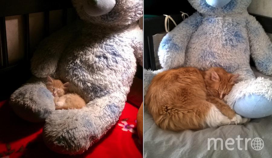 """Полюбуйтесь на нашу кошку Алису. Сейчас ей 2,5 года, а она по-прежнему устраивается поспать на большом мягком медведе. Теперь можно сказать, что рядом с ним. А вот на """"детских"""" фотографиях Алисы,ей 2.5 месяца - первый день ее пребывания в нашем доме в декабре 2015 года, когда она нашла себе теплого мягкого друга.. Фото Бурмистрова Елена"""