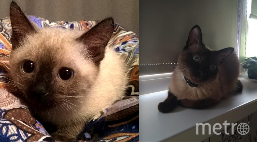 Это наш кот Кузька. породы меконгский бобтейл. Очень игривый котенка. Любит свежую выпечку и сладенькое. Наверное, потому что вскормлен на каше. На первом фото 3 месяца ,на втором 2 года. Нас зовут Татьяна и Александр..