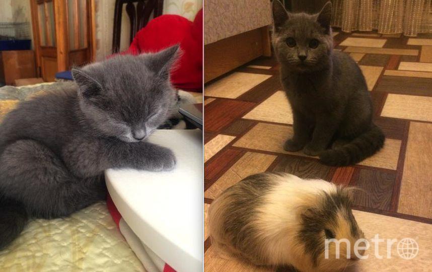 У нас в семье живет шотландский кот Тайсон, Мы взяли его в возрасте 1 месяц ,сейчас ему 2 года .Он всегда встречает нас возле порога ,а потом мяучит зовет играть. Фото Соколова Наталья