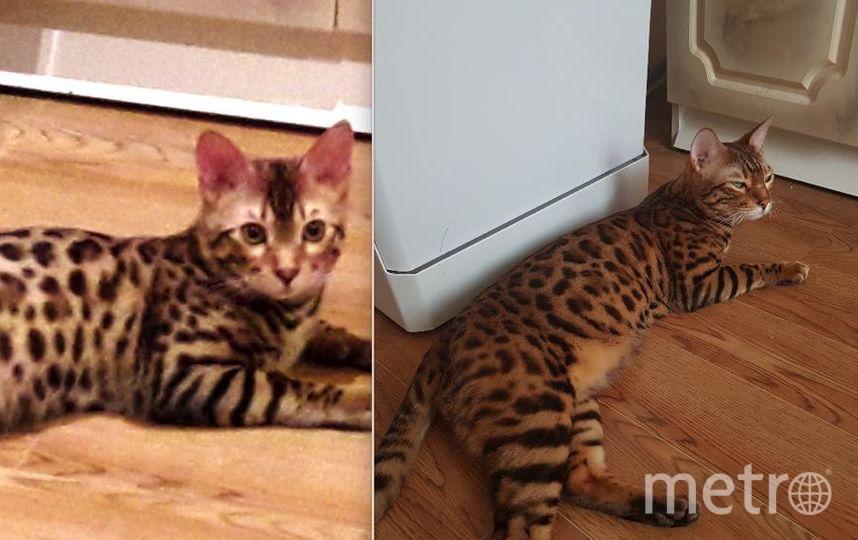 Это наш кот МАРИК. На первом фото ему 6 месяцев, а на втором 1 год и 9 месяцев. Наш любимец, бандит, потрошитель домашних цветов и домашних тапочек. Любит наблюдать за аквариумами. Каждый день что-то натворит. Но мы все равно его любим. Без Марика не представляем нашей жизни.. Фото Зарина