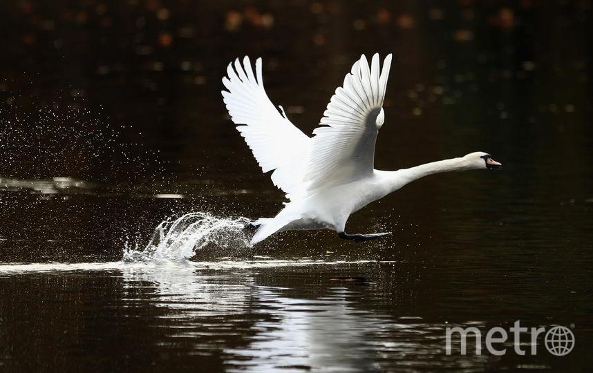 Лебедь. Фото Getty