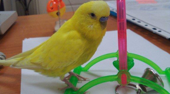 В нашем офисе живет попугай Зеня…очень вежливый мальчик.
