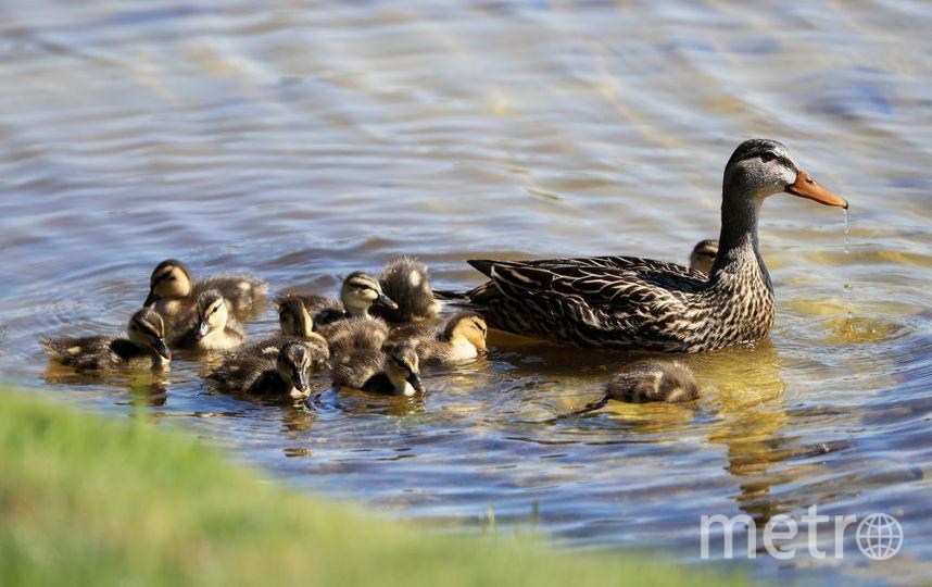 """В столичном парке """"Зарядье"""" поселятся утки. Фото Getty"""