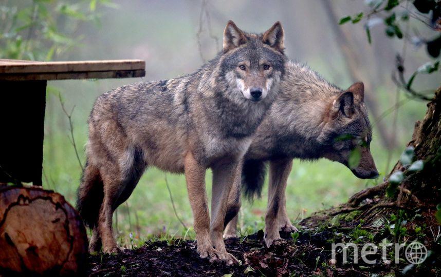Волки. Фото Getty
