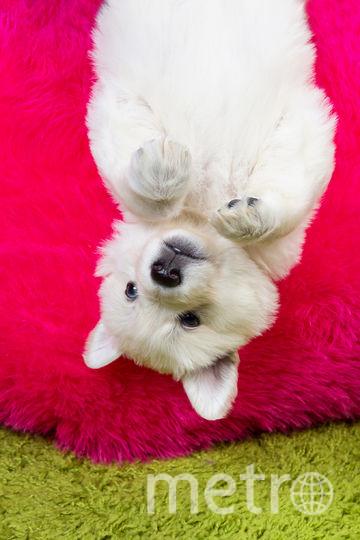 Маленькая белая швейцарская овчарка. Фото pressfoto