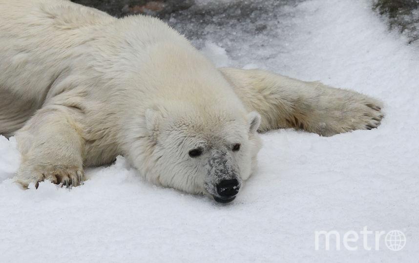 Полярный медведь. Фото Getty